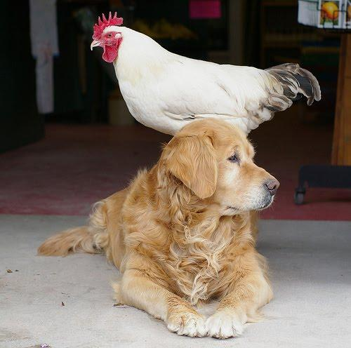 15 Photos That Prove Chickens And Dogs Are Best Friends